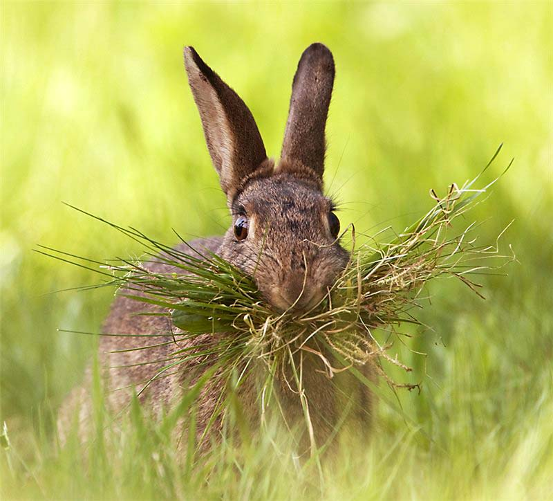 заяц ест траву