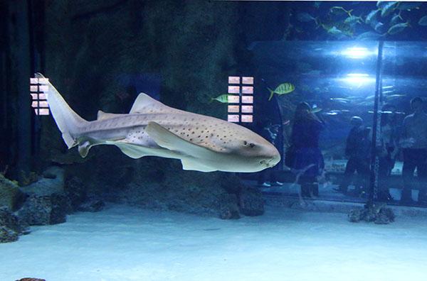 Кошачья акула