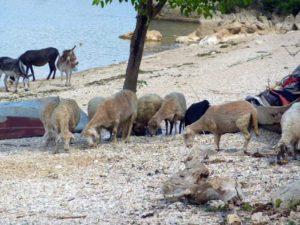 овцы на пляже
