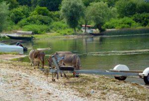 ослы на водопое