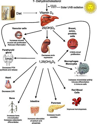 Рецепторы для витамина D