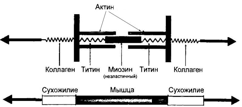 титин
